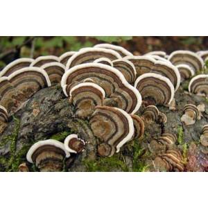 Įvairiaspalvės kempės (Coriolus versicolor) milteliai