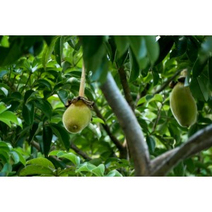 Baobabo vaisiaus milteliai